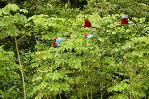 Grünflügelaras, Reserva Nacional Tambopata, Peru
