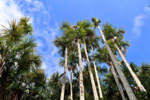 Buriti-Palmen am Lago Sandoval, Reserva Nacional Tambopata, Peru