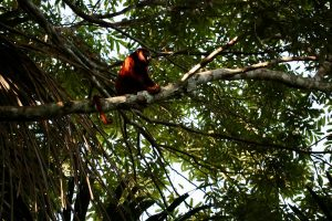 Roter Brüllaffe, Reserva Nacional Tambopata, Peru