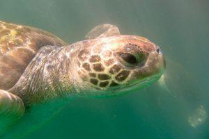 Suppenschildkröte, Peru
