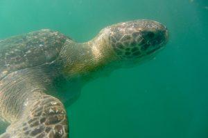 Schwarze Suppenschildkröte, Peru