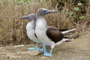 Blaufußtölpel, Nationalpark Machalilla, Ecuador
