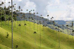 Quindio-Wachspalmen im Valle de Cocora, Kolumbien