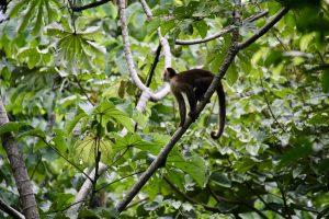Santa-Marta-Kapuzineraffe, Tayrona-Nationalpark, Kolumbien