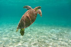 Suppenschildkröte, Nationalpark Old Providence McBean Lagoon, Providencia, Kolumbien