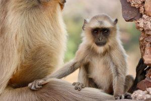 Bengalischer Hanuman-Langur, Ranthambhore-Nationalpark, Indien