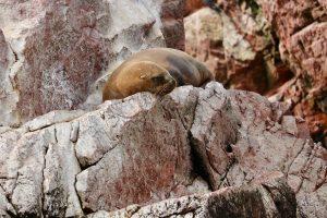 Mähnenrobbe, Reserva Nacional Islas Ballestas, Peru