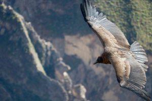 Andenkondor, Colca-Tal, Peru