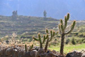 Kakteen, Colca-Tal, Peru