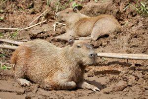 Capybaras, Reserva Nacional Tambopata, Peru