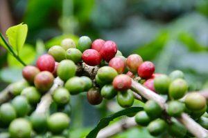 Kaffeekirschen bei Salento, Kolumbien