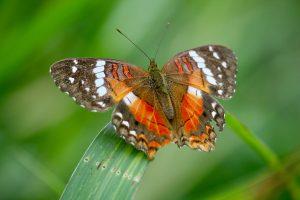 Schmetterling, Kolumbien