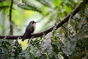 Kolibri, Valle de Cocora, Kolumbien