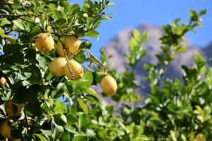 Zitronenbaum, Serra de Tramuntana, Mallorca, Spanien
