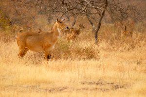 Nilgauantilope, Ranthambhore-Nationalpark, Indien
