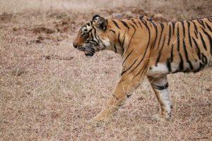 Königstiger, Ranthambhore-Nationalpark, Indien
