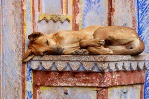 Hund in Bundi, Indien
