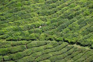 Teeplantage in den Cameron Highlands, Malaysia