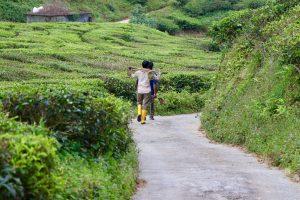 Arbeiter einer Teeplantage in den Cameron Highlands, Malaysia
