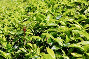 Teesträucher in den Cameron Highlands, Sri Lanka