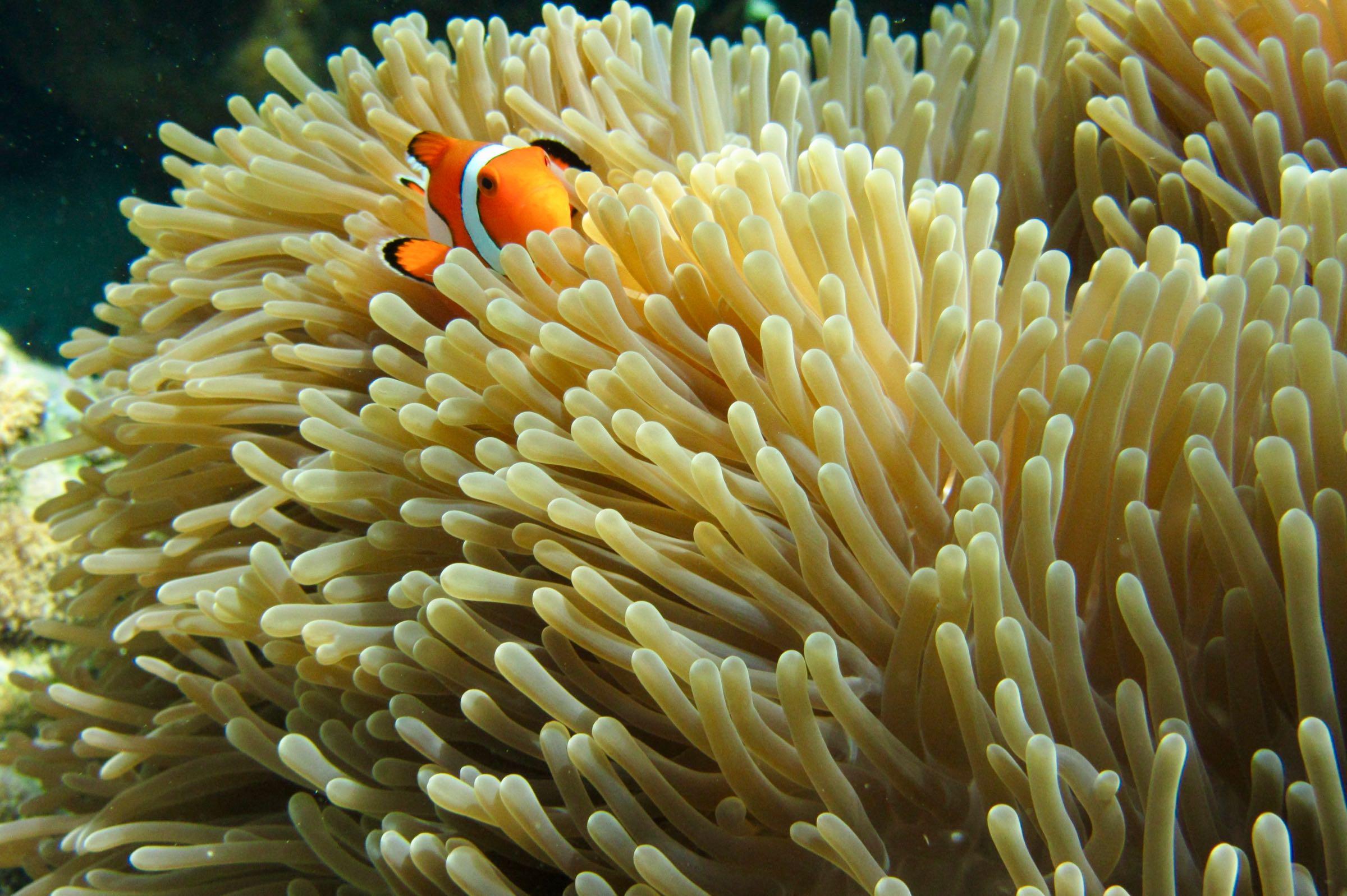 Clownfisch, Ko Rok, Thailand