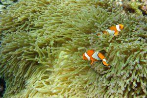 Clownfische, Ko Rok, Thailand