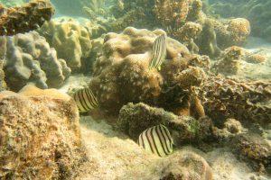 Achtbinden-Falterfische, Ko Pha-ngan, Thailand