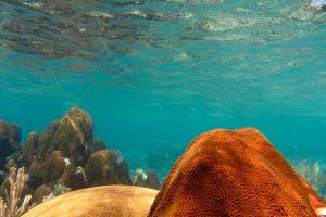 Korallen, Útila, Islas de la Bahía, Honduras