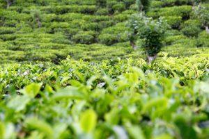 Teeplantage bei Ella, Sri Lanka