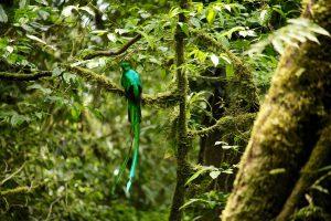Quetzal, Reserva Biológica Bosque Nuboso Monteverde, Puntarenas, Costa Rica