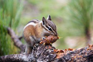 Streifenhörnchen, Bryce-Canyon-Nationalpark, Utah, USA