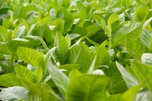 Tabakpflanzen im Valle de Viñales, Pinar del Río, Kuba