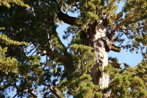 General Grant Tree, Kings-Canyon-Nationalpark, Kalifornien, USA