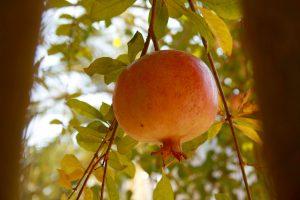 Granatapfel, Douz, Tunesien