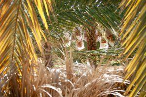 Dattelpalmen, Douz, Tunesien