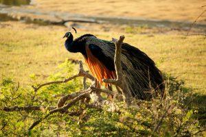 Blauer Pfau, Yala-Nationalpark, Sri Lanka